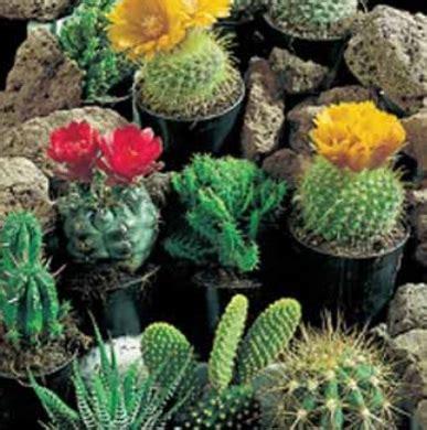 Benih Bibit Biji Tanaman Hias Kaktus Cactus Seeds Flowers Of 2 bibit benih cactus superfine mixed jual tanaman hias