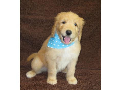 goldendoodle puppies for sale in south florida puppies for sale goldendoodle goldendoodles f