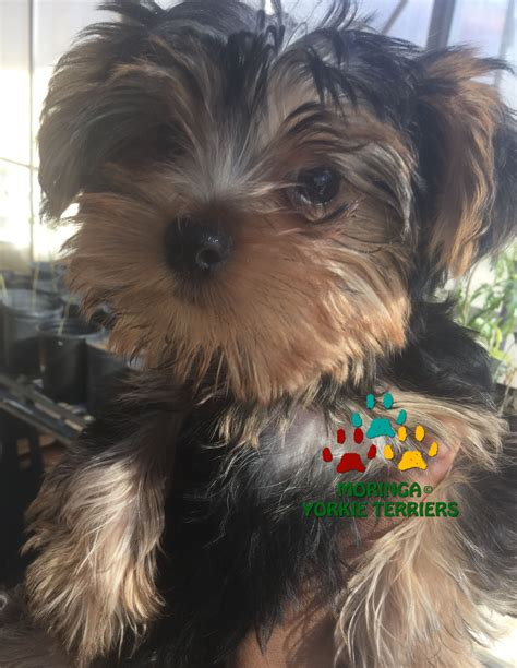 vitamins for yorkies yorkie yorkie puppies for sale teacup dogs moringa for dogs colorful