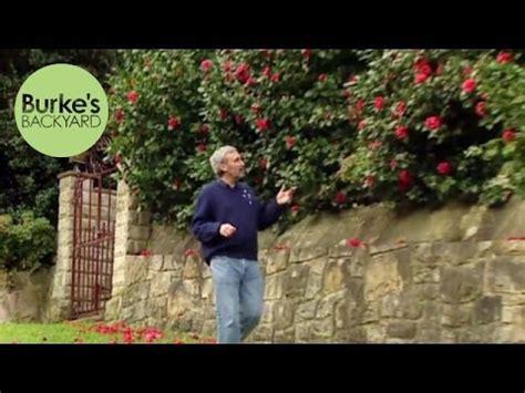 burke backyard burke s backyard camellia japonica hedge youtube