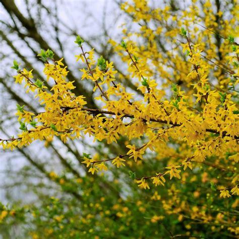 pruning forsythia     trim forsythia bushes