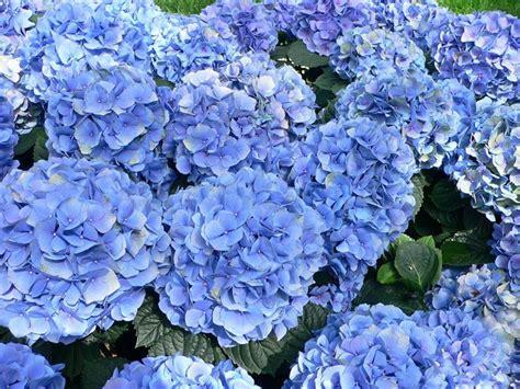 piante bellissime da giardino ortensie in vaso piante da giardino coltivare le