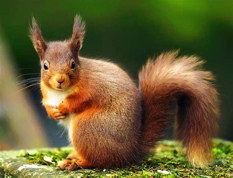 squirrel images squirrel conservation donation