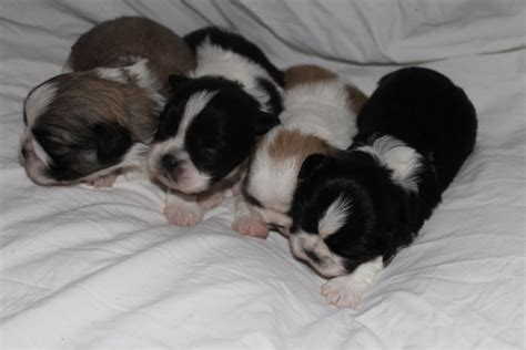 shih tzu puppies for sale in cheshire pedigree shih tzu puppies for sale runcorn cheshire pets4homes