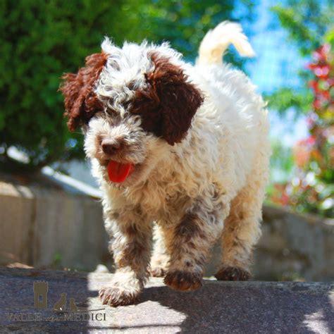 alimentazione cuccioli alimentazione lagotto romagnolo nozioni e consigli pratici