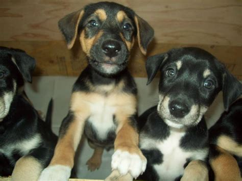german shepherd doberman mix puppies for sale doberman husky mix common information and pictures