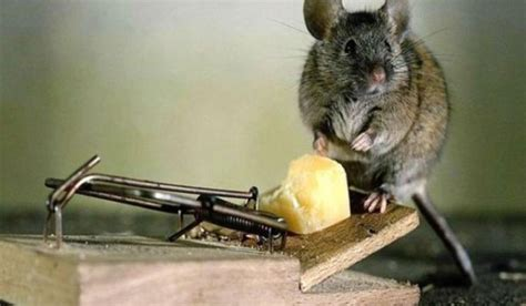 how to get rid of mice in the house how to get rid of pests about methods of pests control