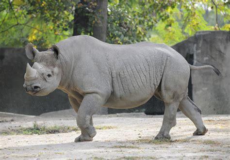 Zoo Zoo Brush Black chicago zoological society black rhinoceros