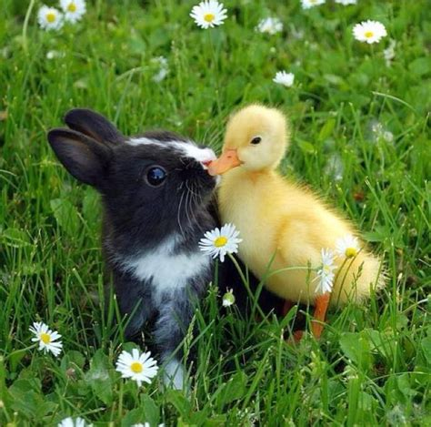 cute rabbits and chicks 26 best images about baby ducks on pinterest keychains