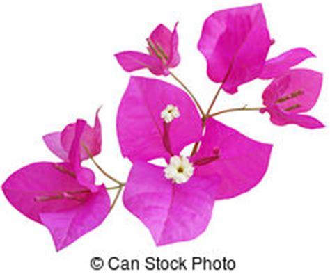 bouganville fiore bougainvillea immagini e archivi fotografici 5 028