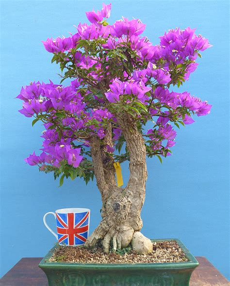 bonsai trees for sale indoor and outdoor bonsai starter