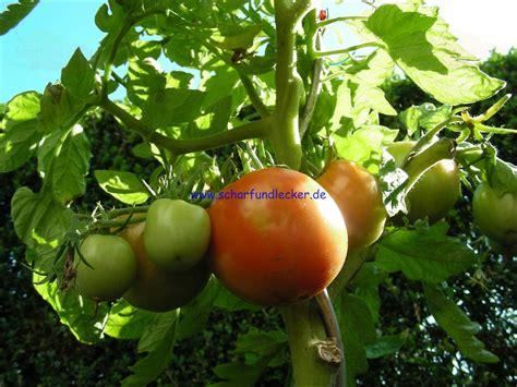 Tomaten Aus Samen Ziehen 5364 by Tomaten Samen Pflanzen Tomaten Aussaat Anleitung F R Die
