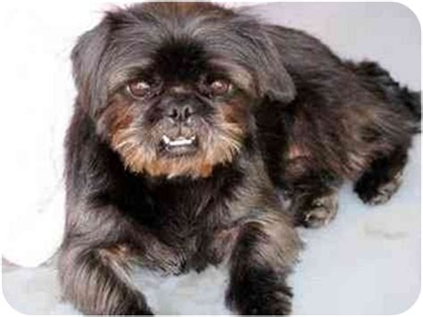 brussels shih tzu mix ju ju bee adopted winnetka ca shih tzu brussels griffon mix