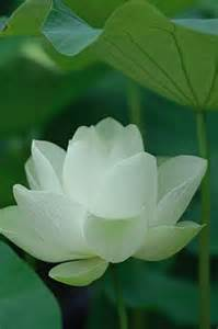 White Lotus Flower White Lotus Flower Jpg Hi Res 720p Hd