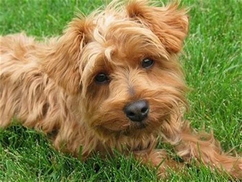 golden yorkie poo yorkipoo terrier breed pictures page 2