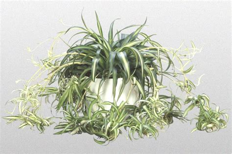 spider plant 301 moved permanently