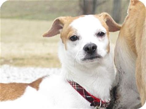 fox terrier pug mix darby adopted indianapolis in fox terrier pug mix
