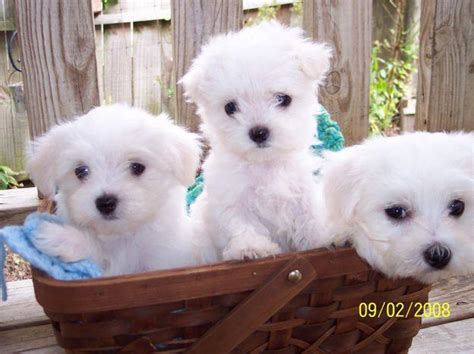 free puppies puppies for sale new funny pictures maltese puppies puppy breeders