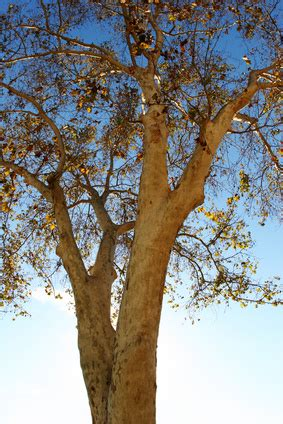 what does the sycamore tree symbolize ehow uk how does a sycamore tree reproduce ehow uk