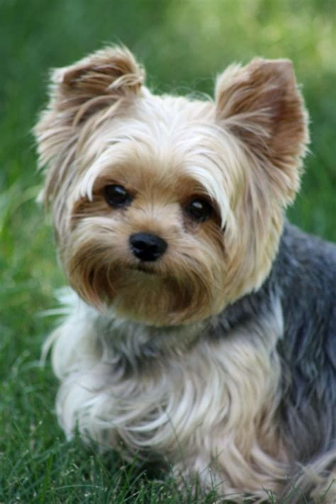 teacup yorkie haircuts pictures cutest puppy cut for a yorkie