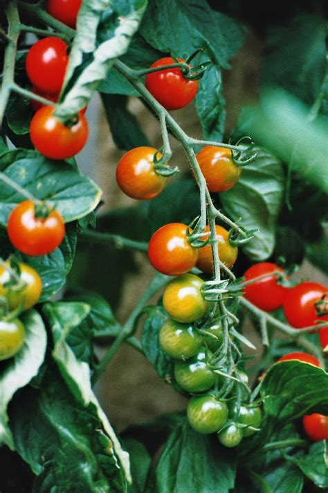 Läuse An Tomaten 5263 by Tomate Planta Www Imgkid The Image Kid Has It