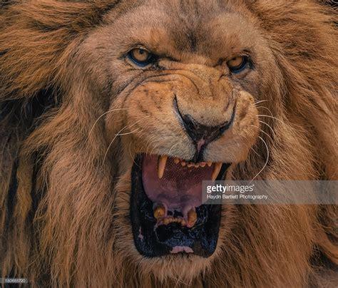 lions roar lion front view face