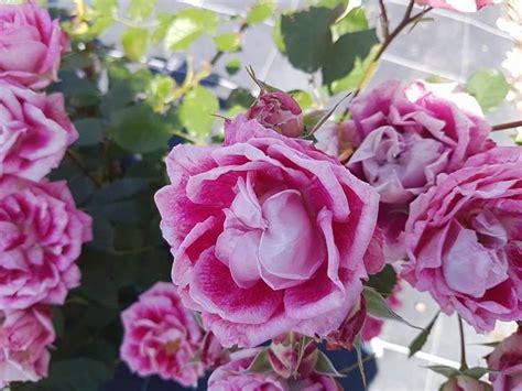 fiori all estero a san valentino si regalano i fiori vengono dall