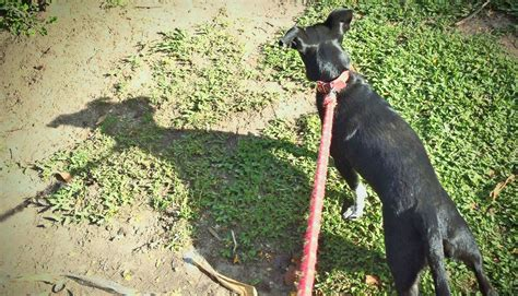 leash aggression in dogs hormones may contribute to leash aggression in dogs futurity