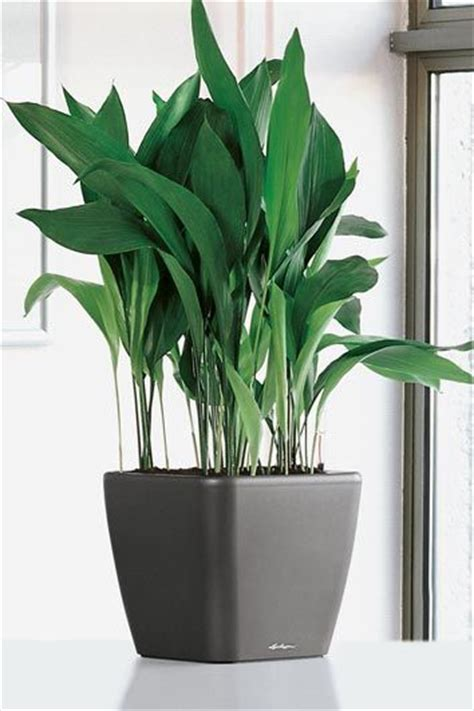 easy apartment plants aspidistra elatior non toxic to pets and people supposed