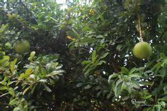 Nutris Unt Daun Akar Buah Bunga2bungkus buah rendang picture fruit trees