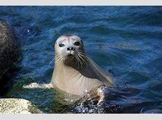 Seehund - Zoo am Meer Bremerhaven Seehund