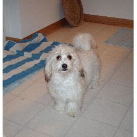havanese breeder ohio havanese breeders in ohio freedoglistings