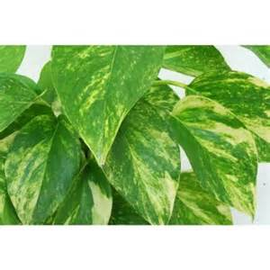 home depot indoor plants delray plants golden pothos 6 in pot 6goldpothos the