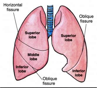diagram of lung lobes www health gossip anatomy of lungs its lobes and