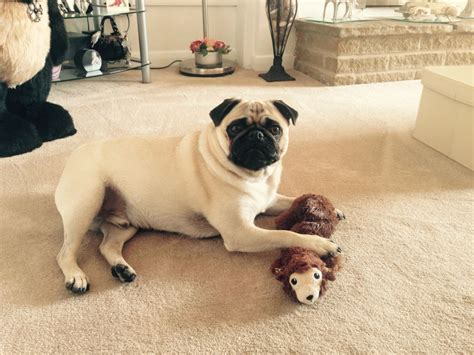 1 year pug for sale pug for sale chesterfield derbyshire pets4homes