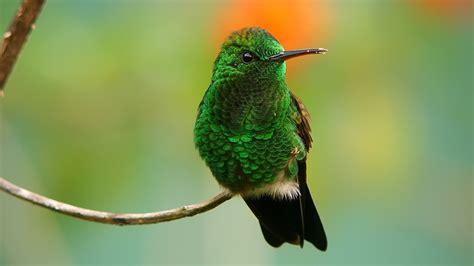 green birds hummingbirds iridescence wallpaper 1920x1080