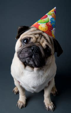 happy birthday pug images pug birthday