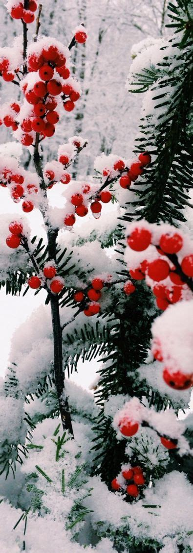 christmas tree with snow and berries berries snow and winter on