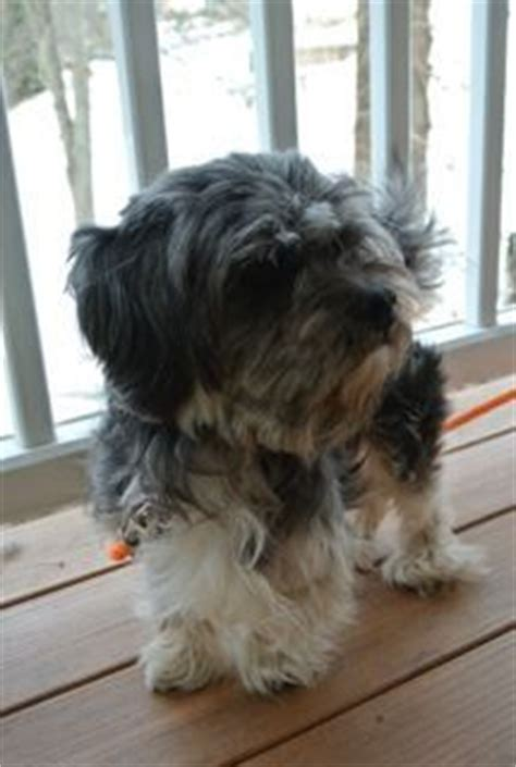 havanese rescue pa havanese rescue dogs on adoption northern california and havanese puppies