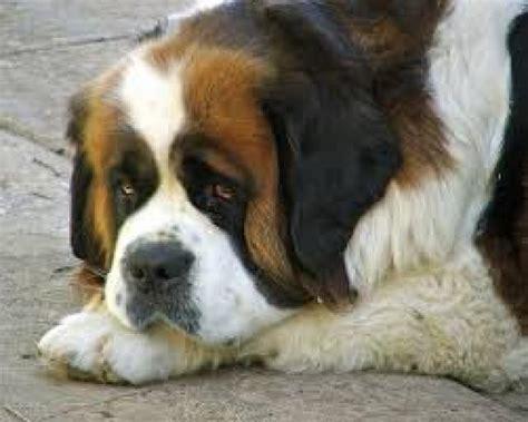 dieta para san bernardo ranking de las mejores razas de perros para al 233 rgicos