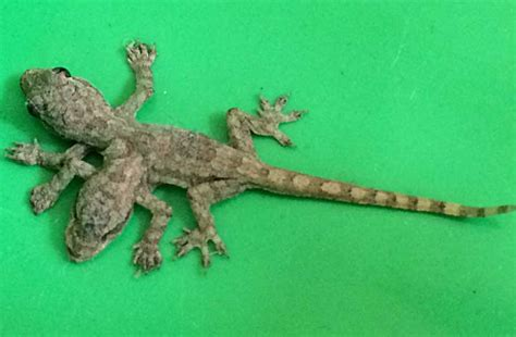 house lizard 2 headed 6 legged baby lizard found in thailand information nigeria