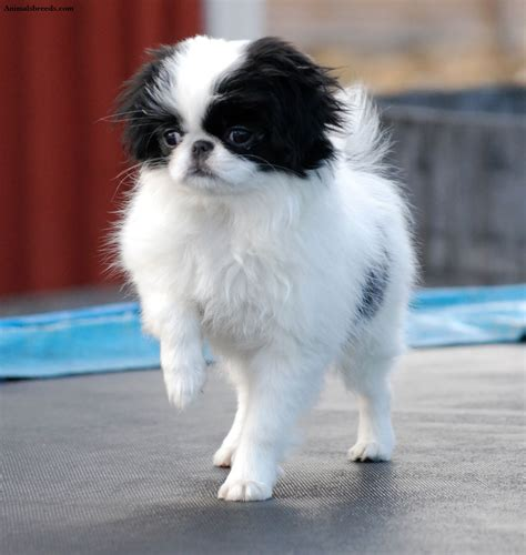 japanese chin information japanese chin facts pictures