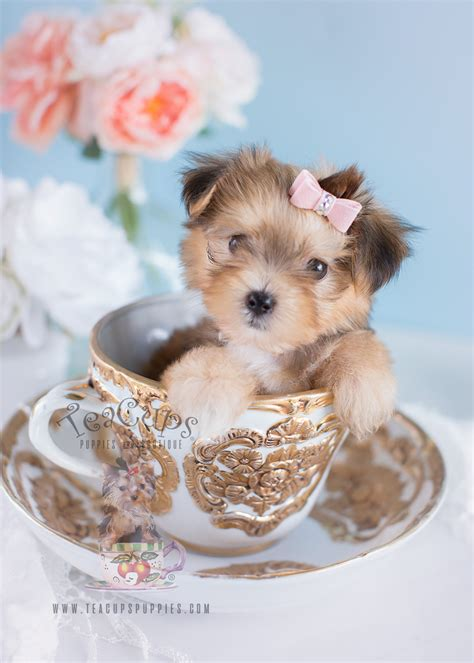 yorkie puppies for sale in broward county products toys designer carriers clothing puppy breeds picture