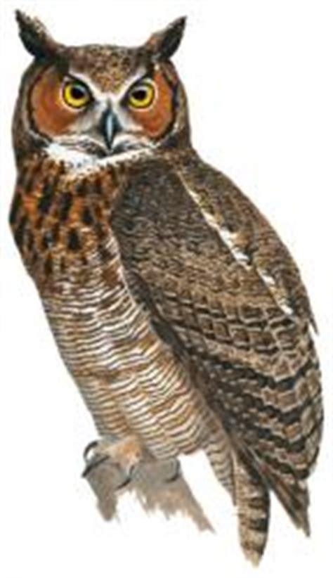 great horned owl bubo virginianus hbw alive