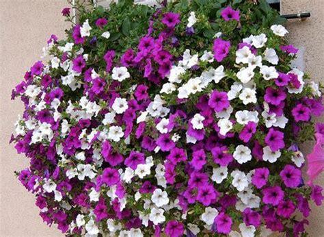 fiori surfinia surfinie fiori e foglie