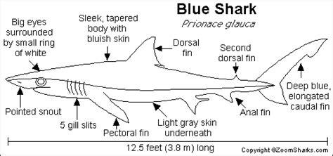 Blue Shark Printout   ZoomSharks.com
