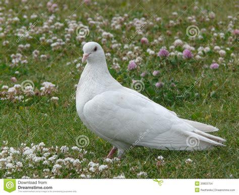 imagenes de palomas blancas gratis paloma blanca foto de archivo imagen de parque pecker