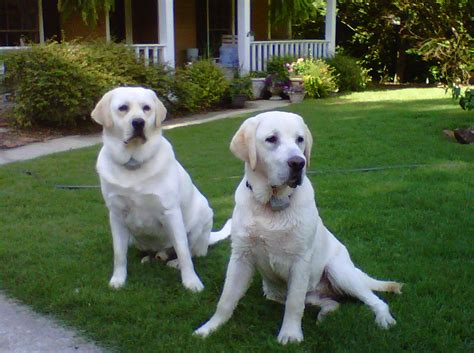 american lab puppies the loveable lab melbourne s most loved kennel