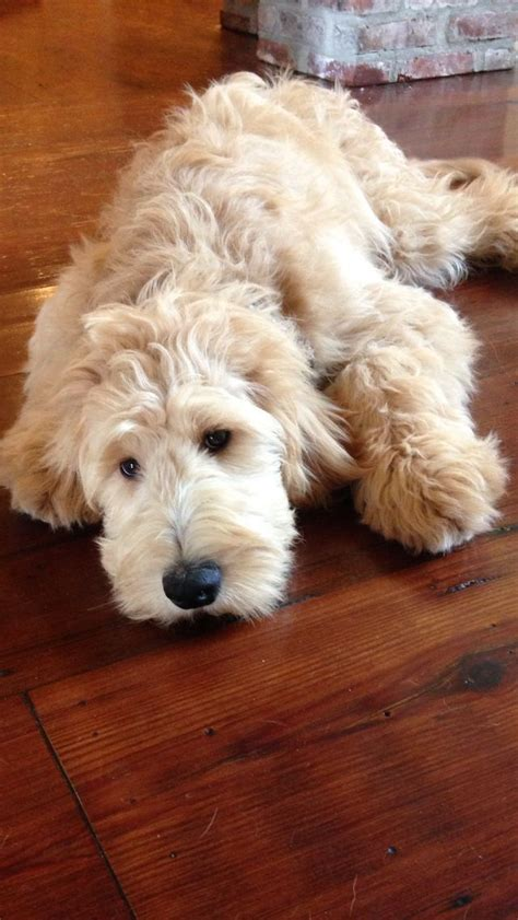 goldendoodle puppy fur 739 best images about oodles of goldendoodles on