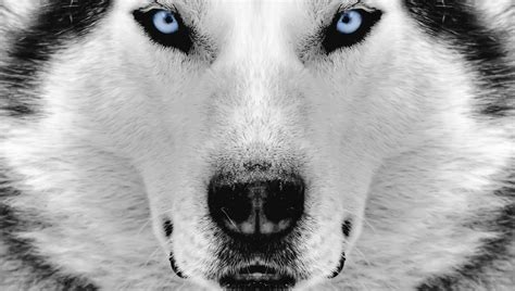husky wallpaper blue eyes siberian husky wallpapers wallpaper cave